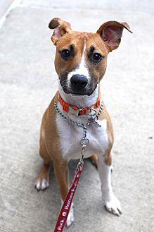 Shepherd (Unknown Type)/Terrier (Unknown Type, Medium) Mix Dog for adoption in Detroit, Michigan - Oscar - Foster Needed!