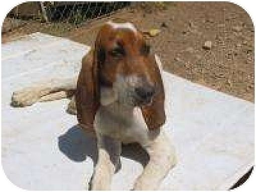 Coonhound (Unknown Type) Mix Dog for adoption in Acton, California - Ralphie