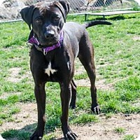 Boxer Mix Dog for adoption in Peace Dale, Rhode Island - Ward