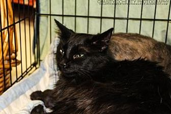 Domestic Longhair Cat for adoption in Santa Fe, Texas - Dusty