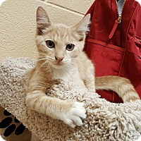 Domestic Shorthair Cat for adoption in Smithfield, North Carolina - Bubo
