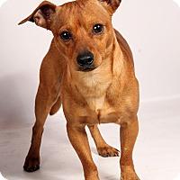 Adopt A Pet :: Winston ChiMix - St. Louis, MO