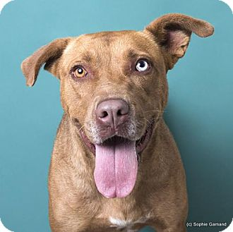 Labrador Retriever/Pit Bull Terrier Mix Dog for adoption in Anniston, Alabama - Sandy