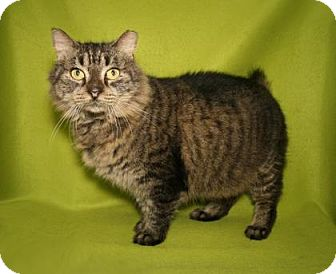 Domestic Shorthair Cat for adoption in Bradenton, Florida - annie