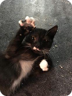 Domestic Shorthair Kitten for adoption in Butner, North Carolina - Domino
