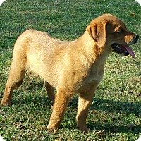 Adopt A Pet :: Brownie meet me 11/11 - Manchester, CT