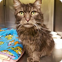 Domestic Longhair Cat for adoption in Salisbury, Massachusetts - Lupina