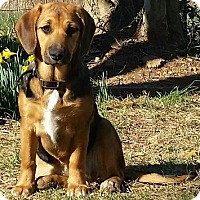 Adopt A Pet :: PUPPY GIGI - Allentown, PA