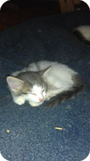Domestic Shorthair Kitten for adoption in Toronto, Ontario - Mitsou