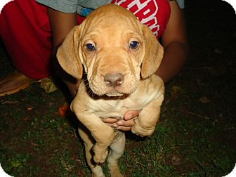 Beagle/Shar Pei Mix Puppy for adoption in Allentown, Pennsylvania - Wrinkles