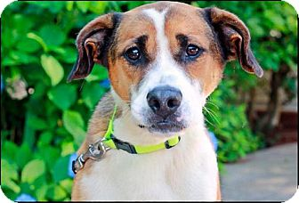 Buddy | Adopted Dog | Marietta, GA | Beagle/Boxer Mix