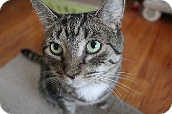 Domestic Shorthair Cat for adoption in Huntington Station, New York - HEIDI