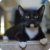 Adopt A Pet :: Socks - Chandler, AZ