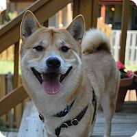 Adopt A Pet :: Baku - Manassas, VA