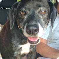 Adopt A Pet :: Ozzie in Ct - East Hartford, CT