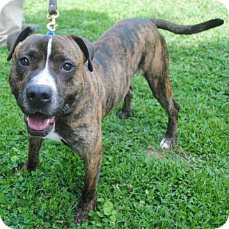 Pit Bull Terrier Mix Dog for adoption in Atlanta, Georgia - Jasper A-LAP