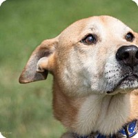 Labrador Retriever/Shar Pei Mix Dog for adoption in Sarasota, Florida - Jerry