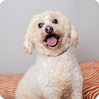 Miniature Poodle Mix Dog for adoption in Mission Hills, California - Curly