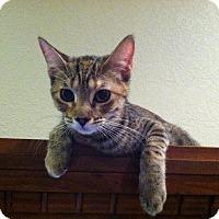 Domestic Shorthair Kitten for adoption in Roanoke, Texas - Baby