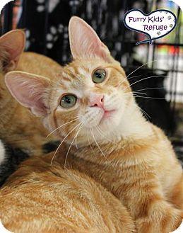 Domestic Shorthair Kitten for adoption in Lee's Summit, Missouri - Stefan