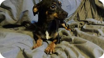 Chihuahua/Dachshund Mix Dog for adoption in Olympia, Washington - Claire