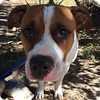 Boxer Mix Dog for adoption in Manchester, New Hampshire - David