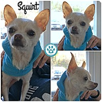 Chihuahua Mix Dog for adoption in Kimberton, Pennsylvania - Squirt
