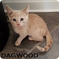 Adopt A Pet :: Dagwood - Speedway, IN