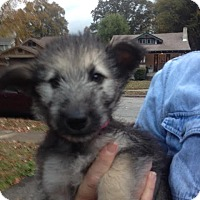 Shepherd (Unknown Type) Mix Puppy for adoption in Memphis, Tennessee - Kukla