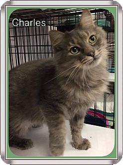 Maine Coon Cat for adoption in Atco, New Jersey - Charles