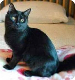 Domestic Shorthair Cat for adoption in Rochester, Michigan - Elsa