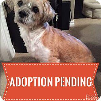Shih Tzu/Terrier (Unknown Type, Small) Mix Dog for adoption in Regina, Saskatchewan - Porkchop