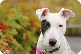 Bull Terrier/Pointer Mix Dog for adoption in Portland, Oregon - Presley
