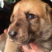 Adopt A Pet :: Ho Ho Ho Puppies - Franklinville, NJ