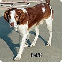 Adopt A Pet :: Duke (Ritzy) - Lindsay, CA