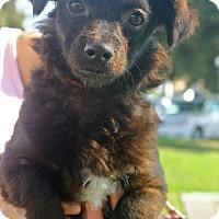 Adopt A Pet :: CocoPuff - Costa Mesa, CA