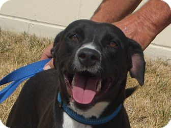 Labrador Retriever/Border Collie Mix Dog for adoption in Windsor, Missouri - Taylor