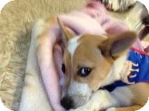 German Shepherd Dog Mix Puppy for adoption in Atascadero, California - Keith