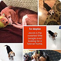 Adopt A Pet :: Jacob - Alexandria, VA