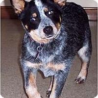 Adopt A Pet :: Callie - Douglas, MA