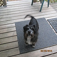 Schnauzer (Standard)/Terrier (Unknown Type, Medium) Mix Dog for adoption in Wapwallopen, Pennsylvania - Buddy George