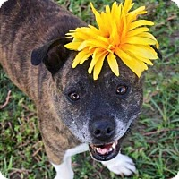 Adopt A Pet :: Dolly - Charlotte, NC