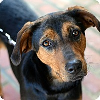 Adopt A Pet :: Penny - Baton Rouge, LA