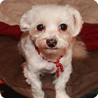 Adopt A Pet :: Lily - Morganville, NJ