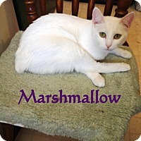 Adopt A Pet :: Marshmallow - Somerset, KY