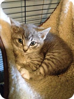 Domestic Shorthair Kitten for adoption in millville, New Jersey - grayce