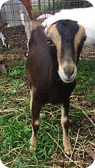 Goat for adoption in Maple Valley, Washington - Ariel