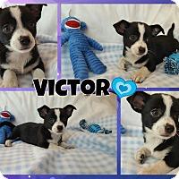 Adopt A Pet :: Victor - Washington, DC
