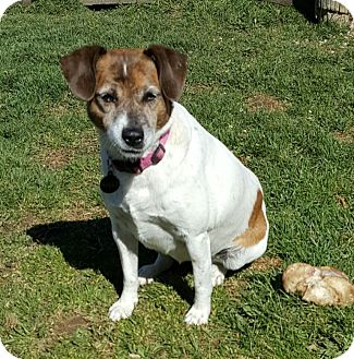 Jack Russell Terrier Mix Dog for adoption in Lucknow, Ontario - MOLLY- adoption pending
