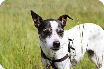 Rat Terrier/Jack Russell Terrier Mix Dog for adoption in Wedgefield, South Carolina - Yoda